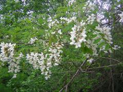 les herbes sauvages mangéables