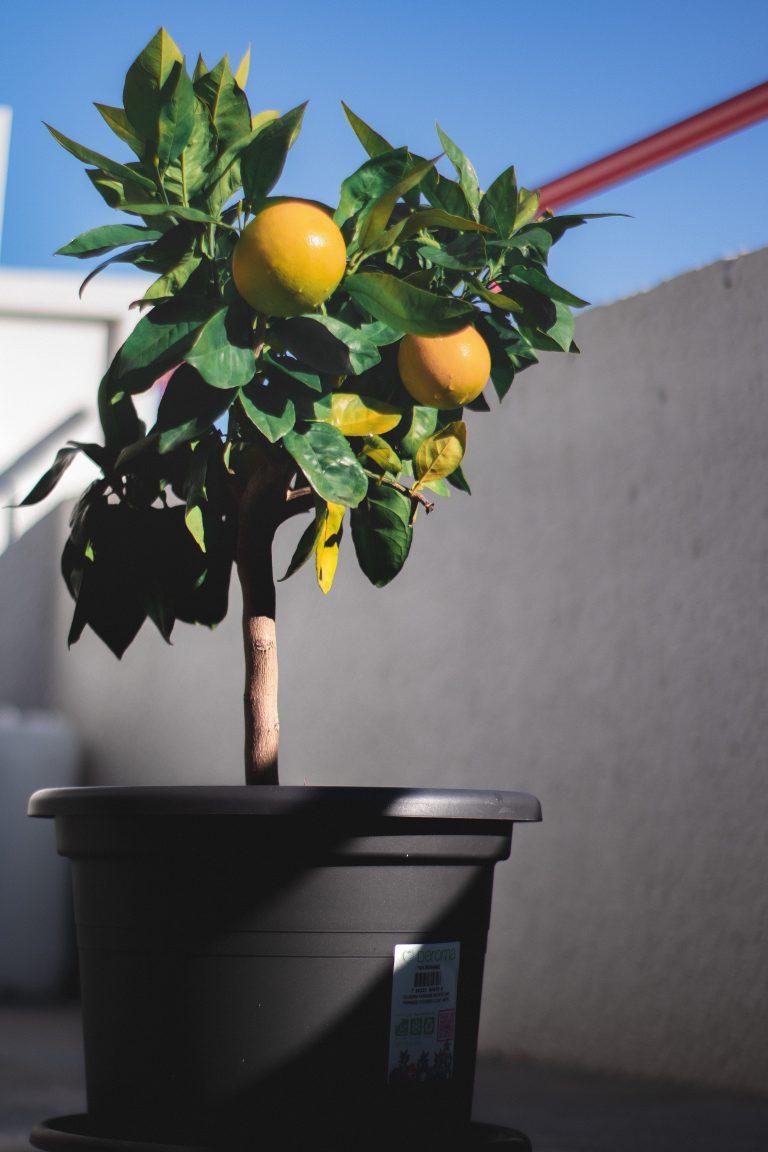 Plante à agrumes sur le balcon