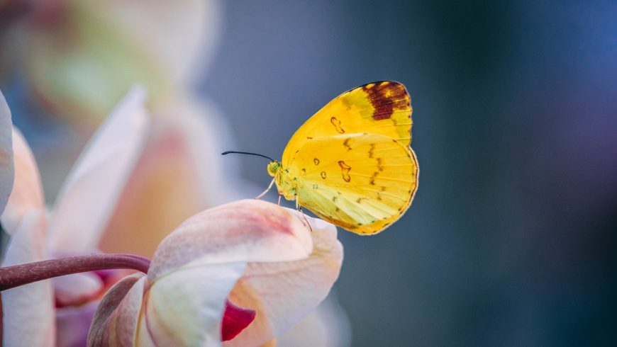 Papillon reposant sur une fleur rose